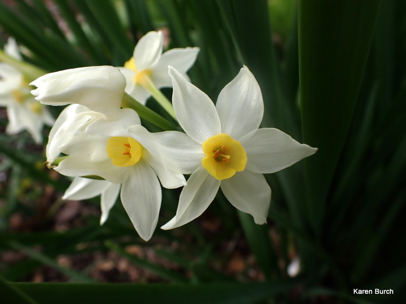 Avalanche Jonquils daffodils close up