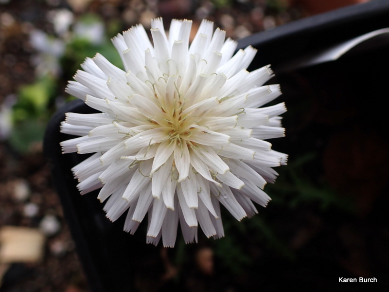 White Dandelion close up