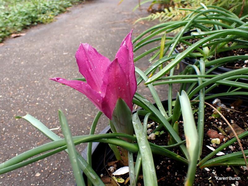 pink dwarf tulip