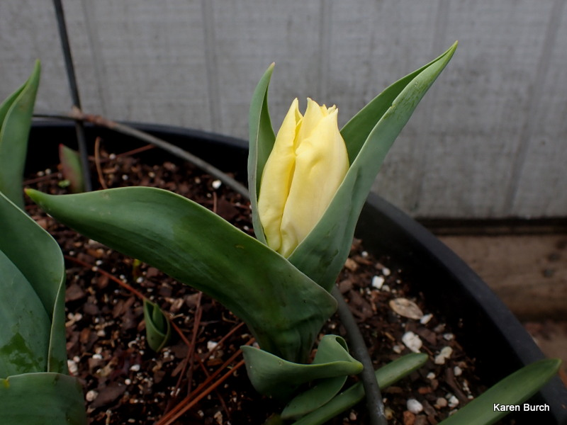 Yellow Dwarf Tulip