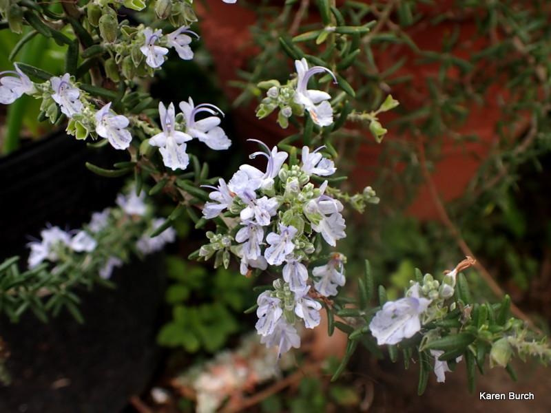 Trailing Rosemary