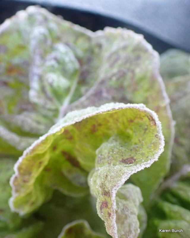 Sanguine Ameliore Strawberry Cabbage Lettuce frost tolerant
