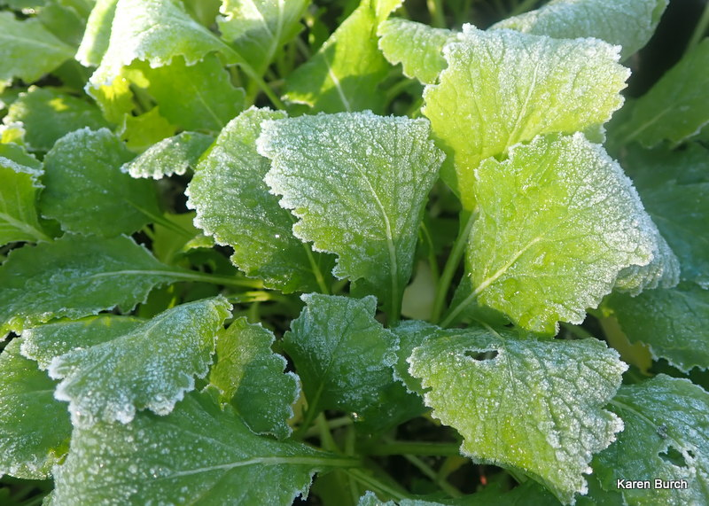 Turnip greens are frost tolerant