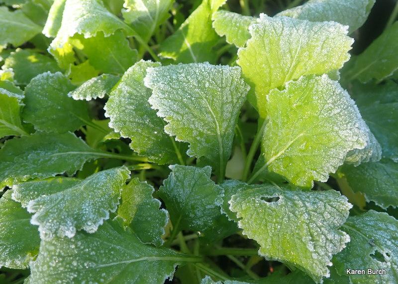 Turnip greens are frost tolerant