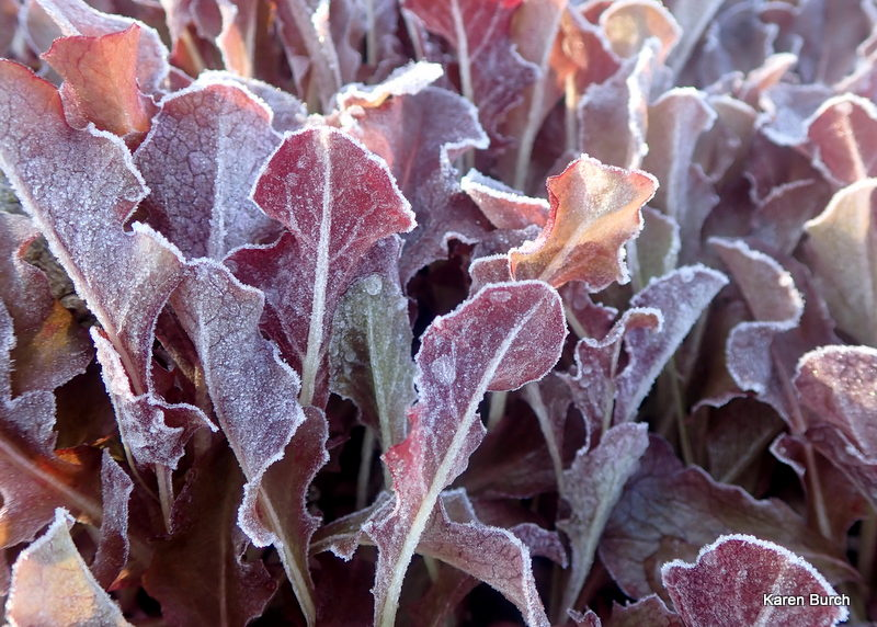 Red Loose Leaf lettuce is frost tolerant