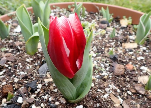 Budding tulips at this stage are vulnerable to frost damage