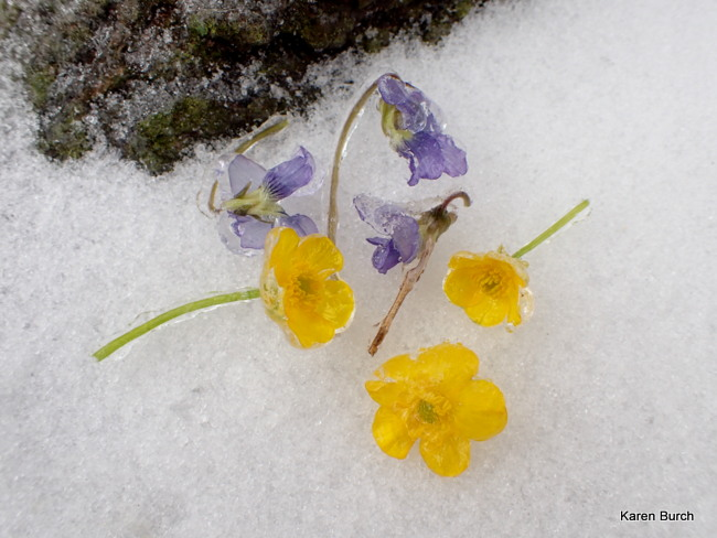 Wild Violets and Buttercups in the Snow
