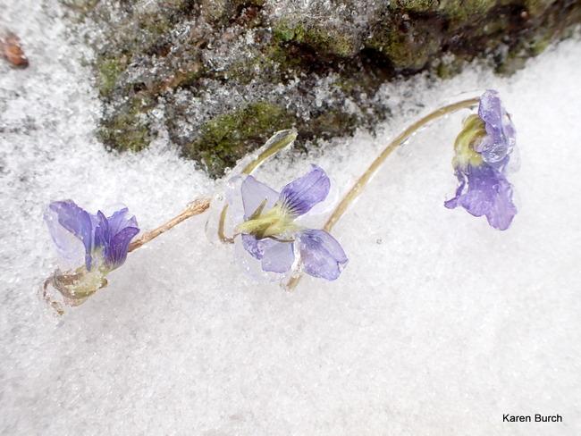 Wild Violets Frozen in Ice
