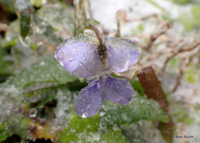 Wild Violet covered in ice