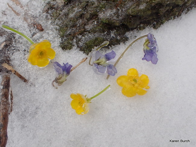 Violets and Wild Buttercups after the Ice Storm