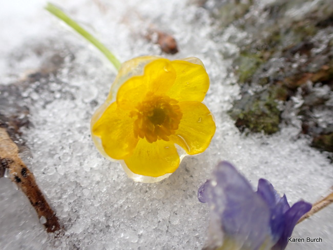 wild buttercup frozen in ice