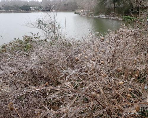 Ice Covered brances and seedheads by a Lake