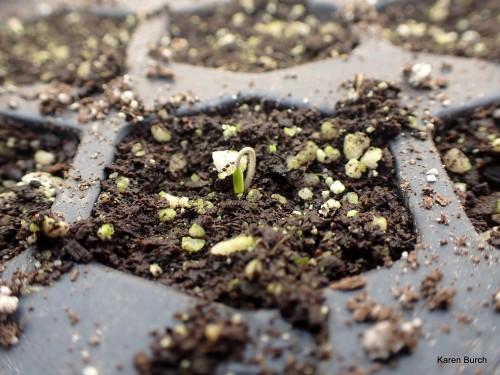 #2021SingleSeedChallenge Katana Hybrid Tomato Seedling