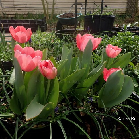 Guenivere Pink Jumbo Perennial Tulips