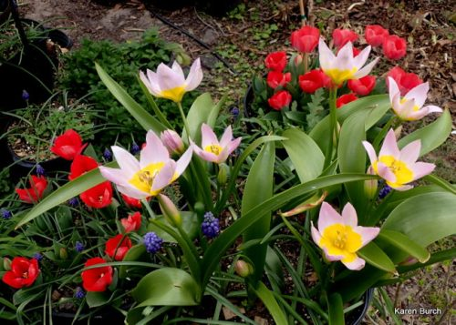 Tulipa bakeri 'Lilac Wonder' and Don Quichotte