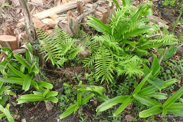 Ferns and Crinum lilies emerging after the frost