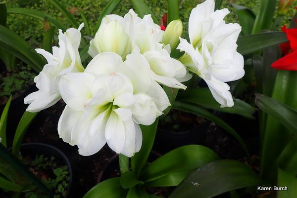 Alaska White Amaryllis
