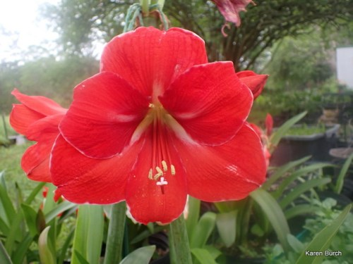 Amaryllis Red Seedling grown from seeds