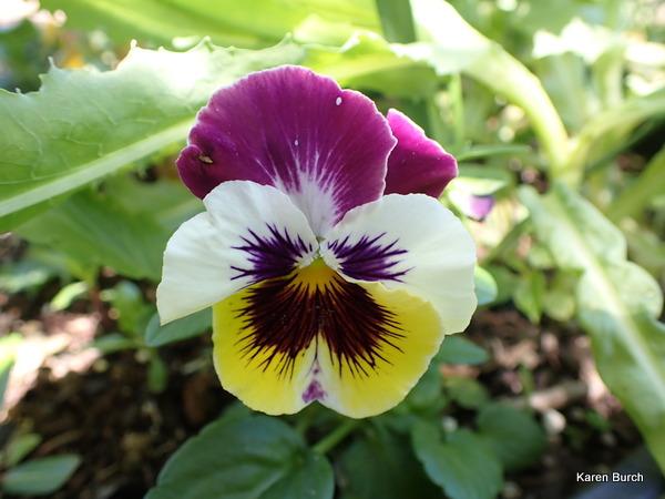Swiss Giant Pansy Viola Wittrockiana