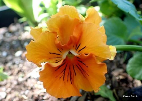 Flirty Skirts Pansy orange