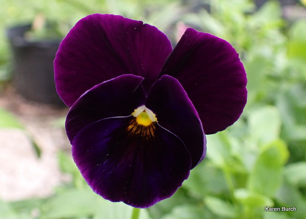 Pansy Got the Blues