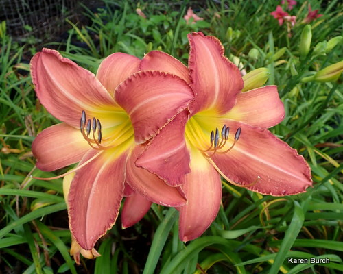 unknown daylily seedlings