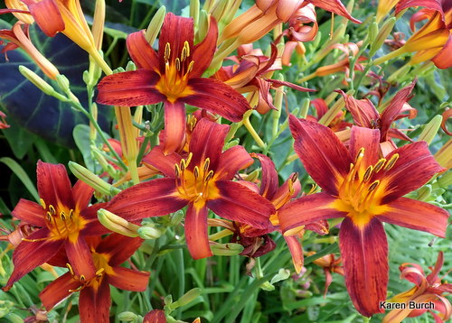 Daylilies Red Ribs Seedling