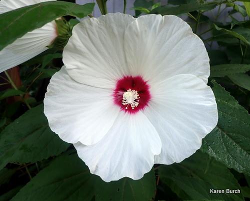Luna White Hardy Hibiscus