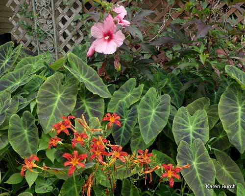 Pink Hardy hibiscus, illustris elephant ear and Red Ribs Seedling daylilies