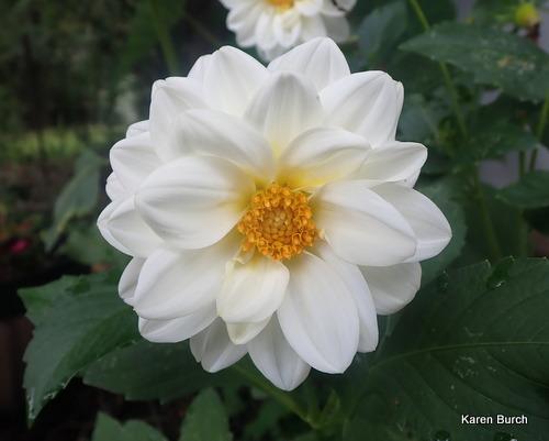 Dahlia Unwins Dwarf white