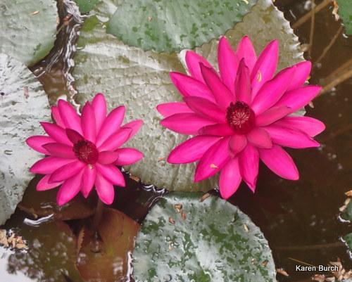 Waterlily Dark Pink Night Blooming
