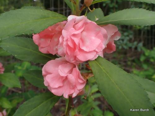 Balsam Impatiens pink