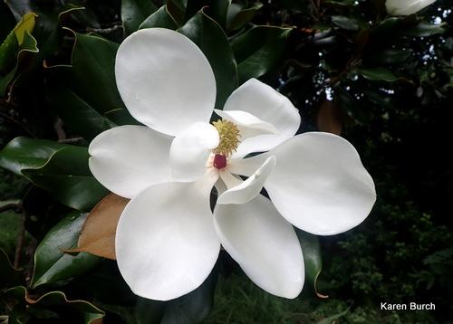 Magnolia Bloom fully open