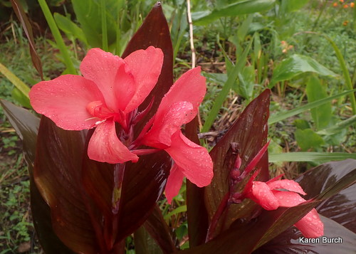 Peach colored canna lily with bronze leaves