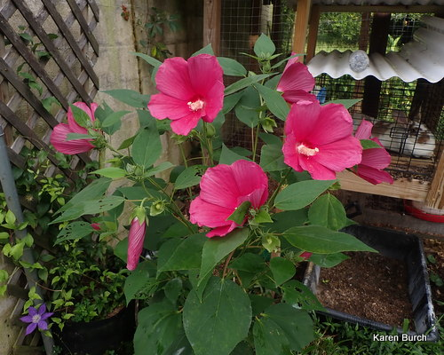 Hardy hibiscus with soft velvet green leaves