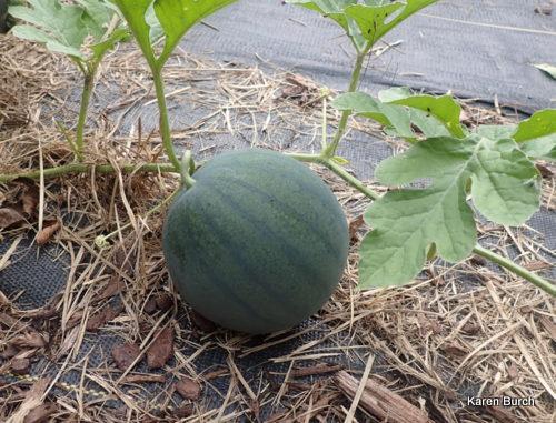 Sugar Baby watermelon on the vine