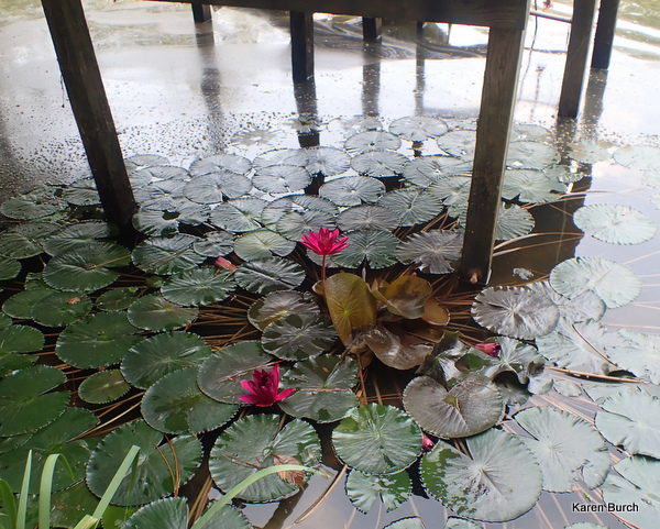 These red waterlilies are in full bloom