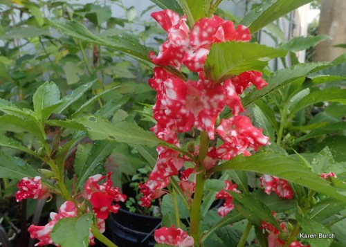 Balsam Impatiens Red with white spots Candy Cane