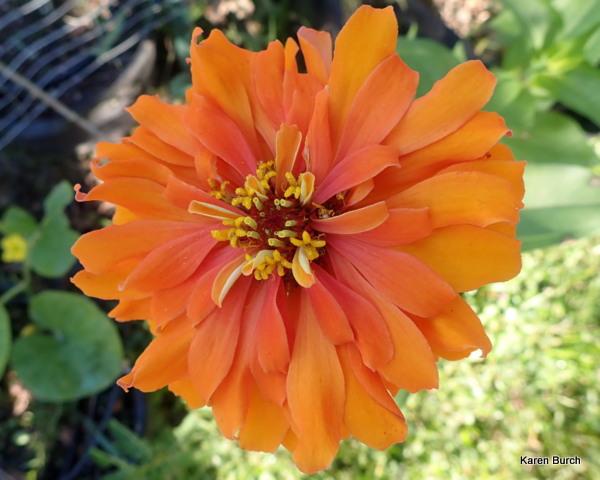 Bright orange Cactus zinnia