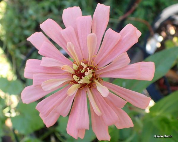 Zinnia porcelain pink