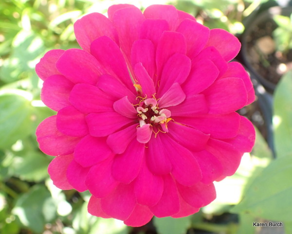 The brightest pink zinnia