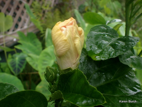 Tropical hibiscus bloom bud 1 day before blooming