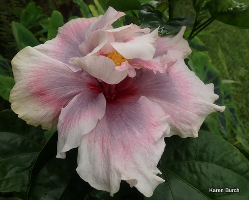 Double Tropical Hibiscus Bloom smoky purple, pink and white